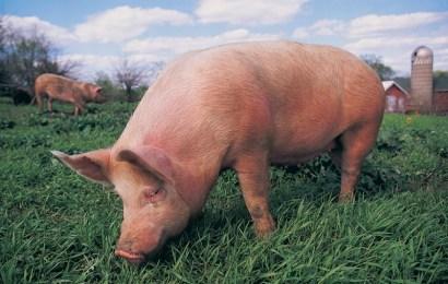 Cresc cazurile  de pestă porcină în Gorj