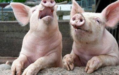 Gorj: Zeci de localități, afectate de pesta porcină
