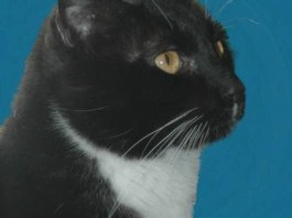 Picture of tuxedo cat who may have had kitty dementia
