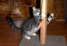 Baby Kitty Lenny and Cats Paws Scratching Post