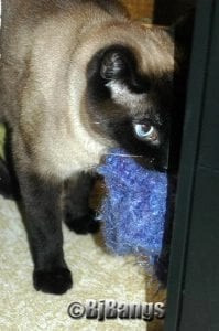 Siamese with new toy