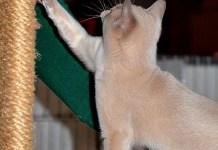 Grabbing kitty's attention at2013 NauTICAts Cat Show