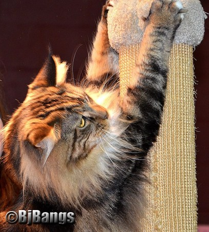 Cats scratching and kneading is hardwired into their behavior