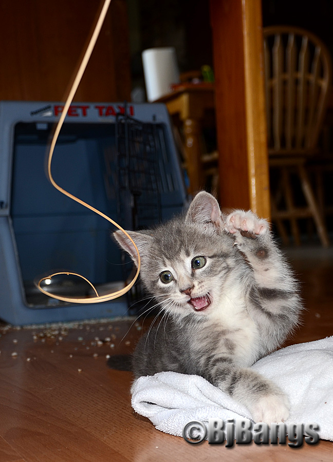 Baby Kitten Lenny learns to play
