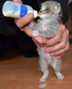 Baby Kitty Lenny being bottle fed