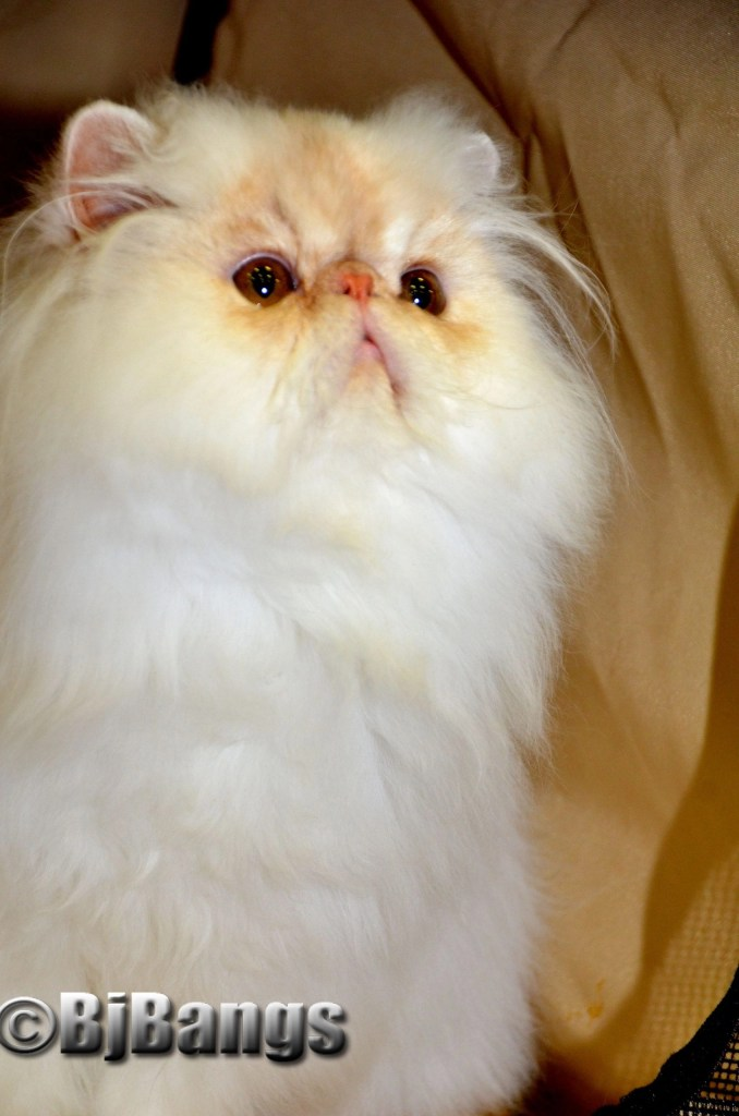 White-and-brown-persian