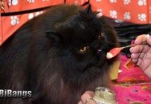 The Cat Fanciers Association recognizes over 22 breeds of black cats, Persian.