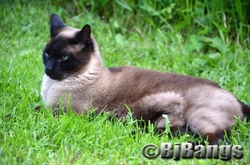Siamese Cats have handsome blue eyes