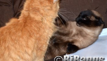 Orange kitty loves to play with his Siamese friend