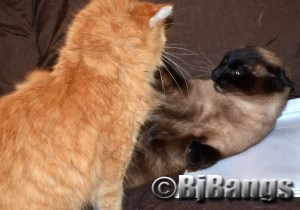 Siamese Cats all have different personalities.