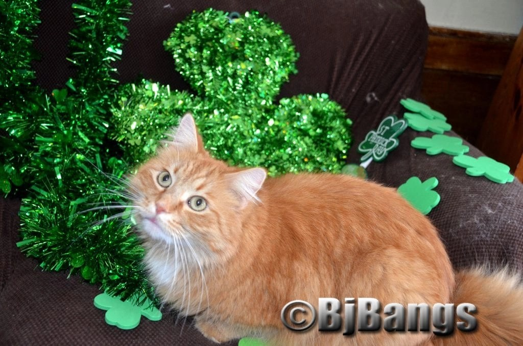 Kitty Little Yellow basks in the glory of peace of the St. Patrick's Day Shamrocks.