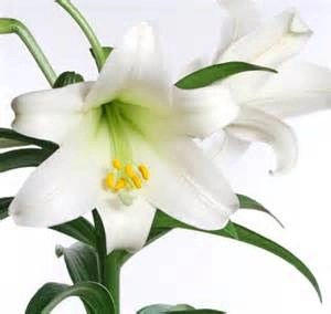 Easter Lilly, beautiful, but poisonous to cats.