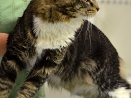 Handsome Maine Coon Cat at August, ME NauTICAts Cat Show