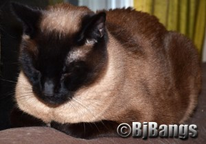 This Siamese cat is a Velcro cat.