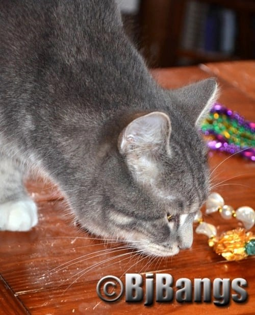 Cat Lenny checks out Mardi Gras beads