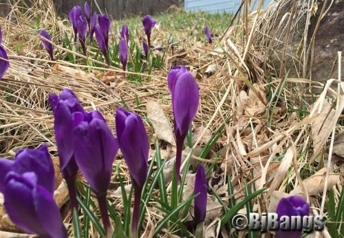 Crocuses in full bloom, a sure sign of Spring.