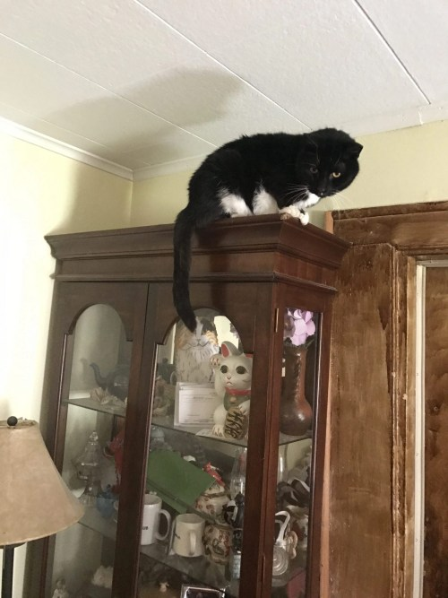 Geriatric Cat Clyde can still jump and play