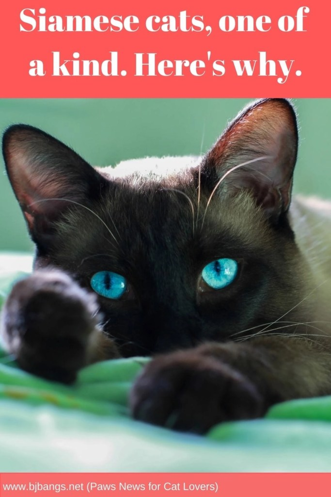 Pin of a Siamese Cat saying why he's so special