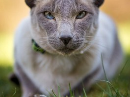 Picture of Siamese Cat saying why Siamese Cats are special