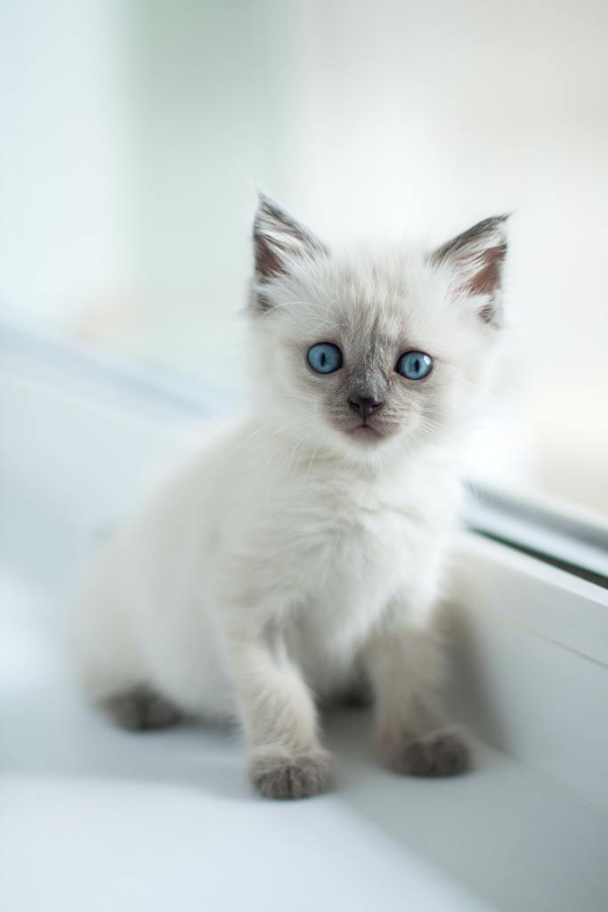 Picture of a Siamse kitten