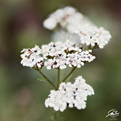 Vit blomma (hundkex)