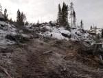 Trefelling for omlegging av Stensrudåsveien er avsluttet. Fresing av stubber og røtter fortsetter. (foto: Sven Brun)