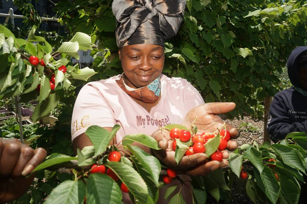 Princess Conneitt picks fresh cherries from the tree at the Brownsville farm. Photo by Russell Frederick.