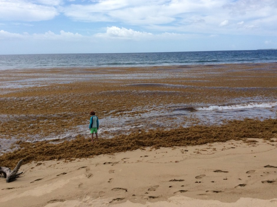 picture of our beach in Puerto Rico covered in sargassum seaweed