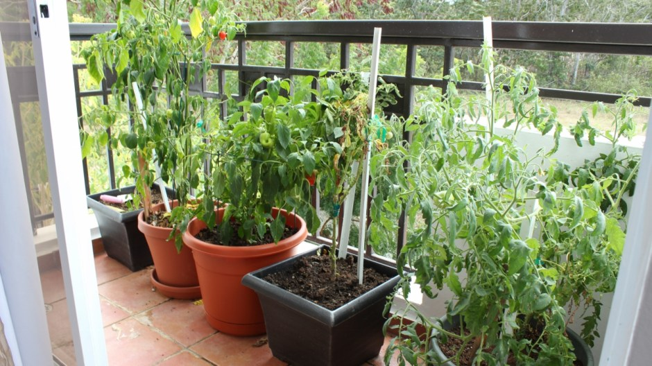 our little balcony garden provides fresh ingredients to make mexican salsa in puerto rico