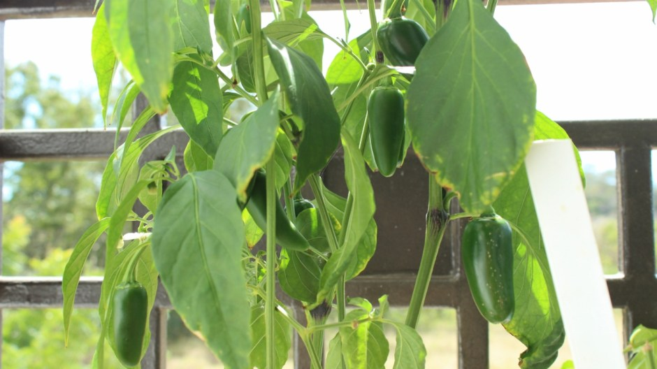 our jalapeno plant provides peppers for our mexican salsa in puerto rico