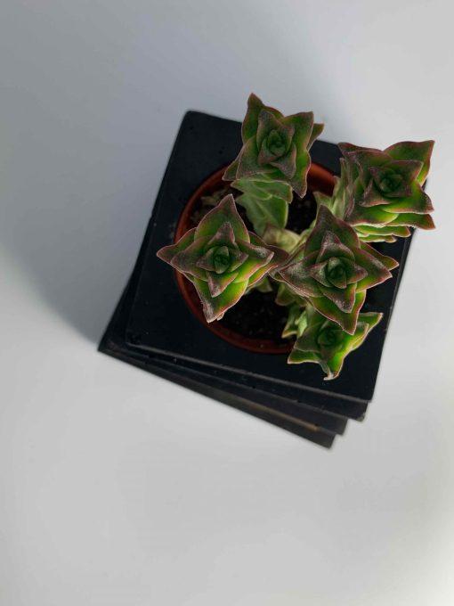 BLACKBETON - ARTISANAT D'ART - Collection végétale - TALOUL - S - béton noir