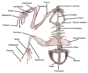 Frog Skeleton Labeled