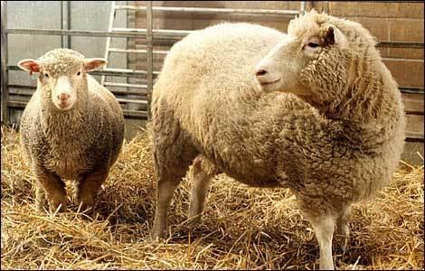 Dolly, le premier mammifère cloné.
