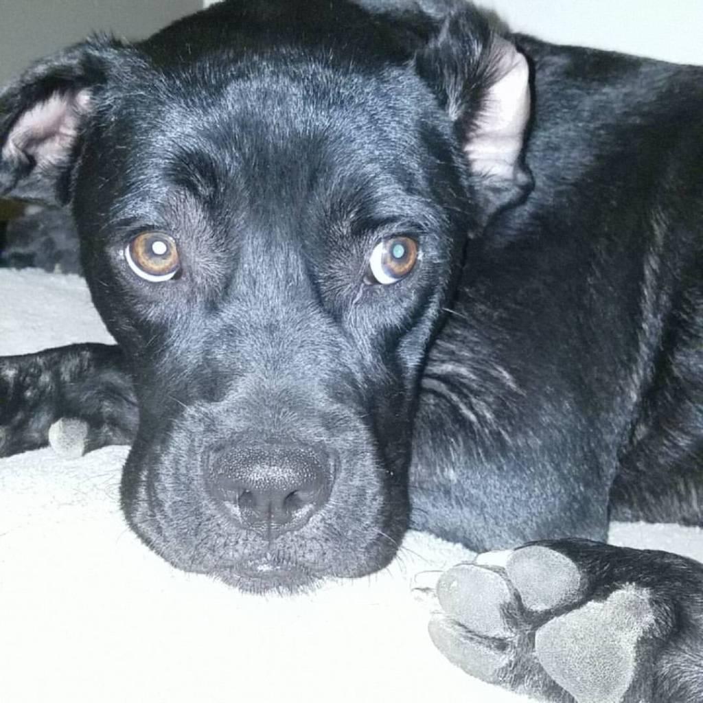 Black Labrador Retriever looking into camera.