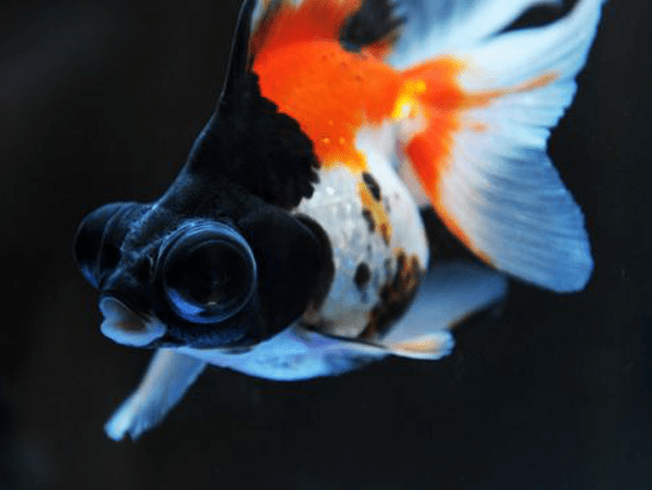 black moor goldfish lifespan