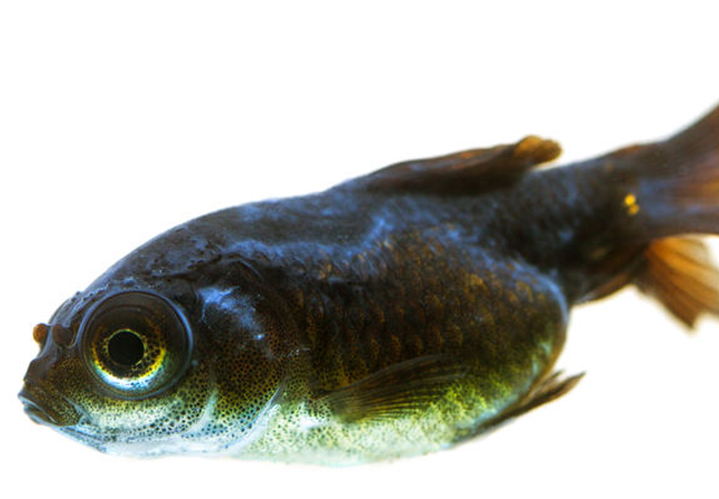 black moor goldfish disease