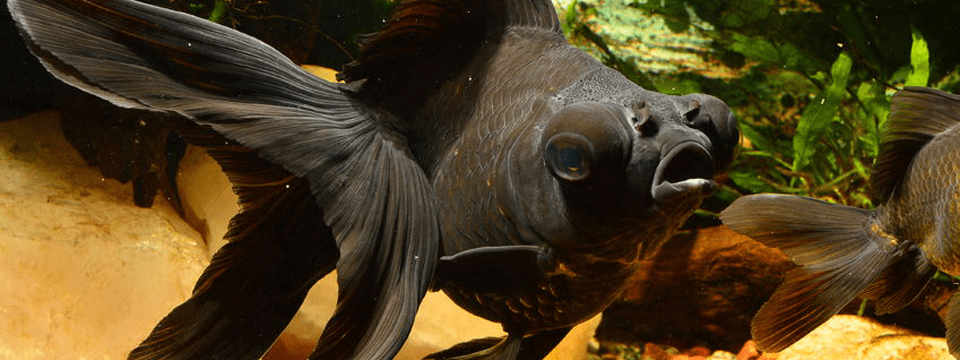 Black Moor Goldfish – Goldfish With a Attitude