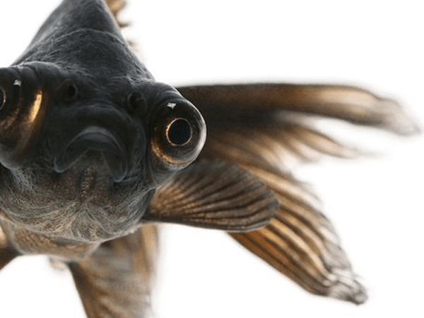 black moore goldfish