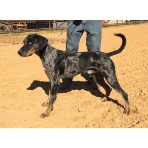 Alluring Sale Sale Arkansas Contact Seller Catahoula Leopard Puppies