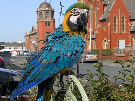 Diego the baby macaw was last seen flying towards Talbot Road on Sunday afternoon. Pic: Andy Floyd