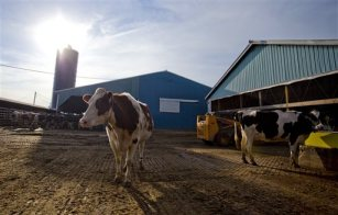 In this March 15, 2013 file photo, dairy cows stand near a barn on a farm in Billings, Mo. (AP Photo/The Springfield News-Leader, Nathan Papes, File)