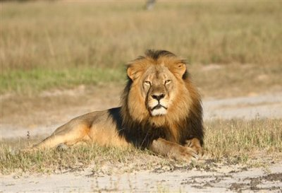 In this undated photo provided by the Wildlife Conservation Research Unit, Cecil the lion rests in Hwange National Park, in Hwange, Zimbabwe. Two Zimbabweans arrested for illegally hunting a lion appeared in court Wednesday, July 29, 2015. The head of Zimbabwe's safari association said the killing was unethical and that it couldn't even be classified as a hunt, since the lion killed by an American dentist was lured into the kill zone. (Andy Loveridge/Wildlife Conservation Research Unit via AP)