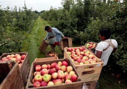 In this July 9, 2015 file photo, workers harvest early apples at Samascott Orchards in Kinderhook, N.Y. The Commerce Department releases second-quarter gross domestic product on Thursday, Aug. 27, 2015. (AP Photo/Mike Groll, File)