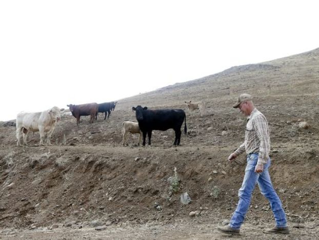 Rancher Steve Drumright walks toward his cattle, grazing on a barren hillside in Tulare County, outside of Porterville, Calif. (Photo: Gregory Bull, AP)