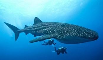 https://i2.wp.com/www.blacktomato.com/wp-content/uploads/2013/11/ningaloo-reef-whale-shark.jpg?resize=349%2C205
