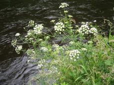 www-blackwatercastle-com-elderflower