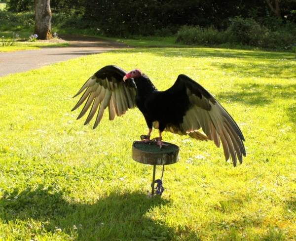 halk walks, falconry displays and birds of prey in castle limerick