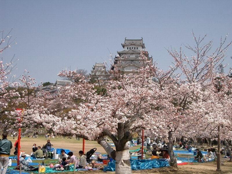 festival hanami bunga sakura di jepang