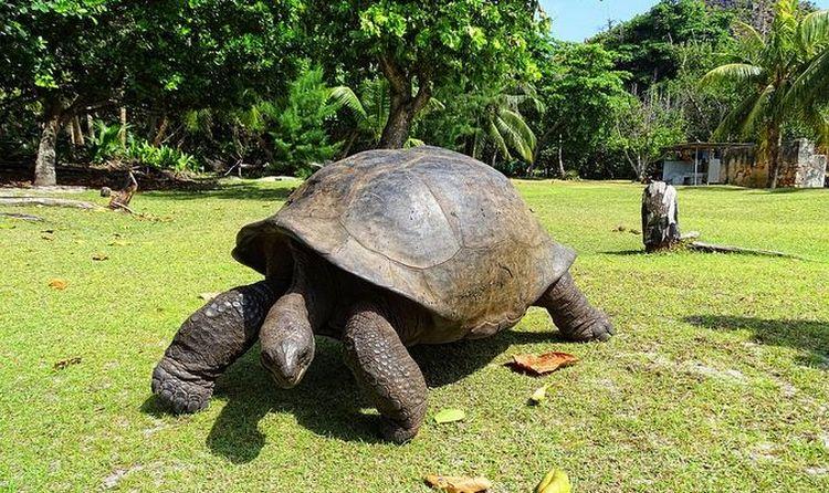 kura-kura aldabra raksasa berusia puluhan tahun