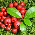 daun dan buah wintergreen untuk bahan baku wintergreen essential oil